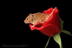 Harvest Mice 3