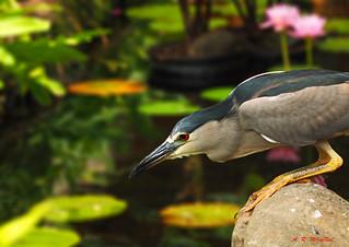 Night Heron on the Prowl 1 - Ka'anapali, Maui