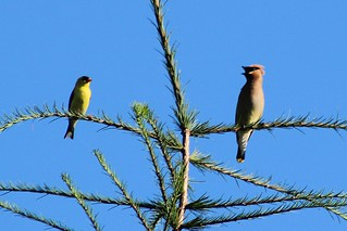 American Goldfinch and Cedar Waxwing