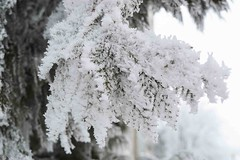 white pine (sunsetsára) Tags: weather winter winterbeauty snow snowy ice icy tree trees fog foggy mist misty pastel white cool frozen gloomy branch branches walking walk street town city