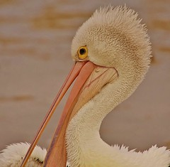 Portrait of a Pelican (oliverred) Tags: pelican naturethroughthelens coth5 sunrays5