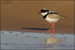 Pied Plover (Hoploxypterus cayanus) (Glenn Bartley - www.glennbartley.com) Tags: animal animalia animals atlanticrainforest aves avian bird birdwatching birds brazil glennbartley nature neotropical pantanal piedploverhoploxypteruscayanus rainforest southamerica wildlife