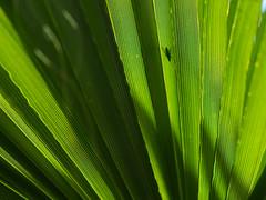 Palme (YvoWupp) Tags: 45mmf18 blumen deutschland essen europa garten gruga jahreszeiten natur omd olympus pflanzen sommer palme blatt em10 germany europe