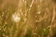 A Wish..... (Lindsey1611) Tags: august makeawish wish sparkle light sun evening summer2017 summer sparkly seed fields grass