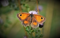 Little Beauty. (pstone646) Tags: butterfly insect nature animal wildlife fauna closeup bokeh flower thistle gatekeeper kent