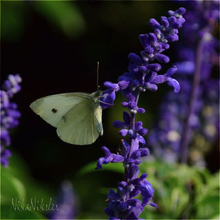 A white butterfly is among the blue flowers