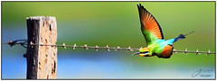 Rainbow Bee Eater (juliewilliams11) Tags: rainbow beeeater bird colour fence barbedwire wire wings queensland australia