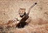 namibia 2017 (mauriziopeddis) Tags: namibia africa cif cheetah conservation found ghepardi safari savana bush deserto felini cats wildlife radiocollare specie salvaguardia riproduzione velocità