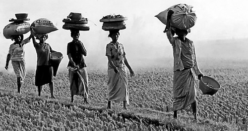 Bali, rice harvest is a matter of women