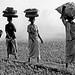 Bali, rice harvest is a matter of women