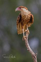 Crested Caracara (Stephen J Pollard (Loud Music Lover of Nature)) Tags: bird ave quebrantahuesos caranchocomún caracaracheriway caranchonorteño caracaraquebrantahuesos halcón falcon birdofprey avedepresa averapaz raptor crestedcaracara