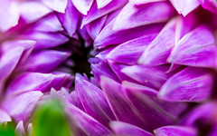 Creepy Flower Teeth (DobingDesign) Tags: flower plant petals creepy dahlia pinks magenta hole blackhole teeth gardenmonster macro closeup