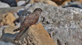 Cuckoo - juvenile      (Cuculus canorus)