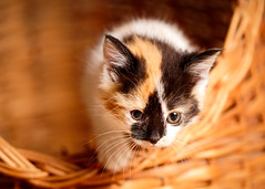 'Angel' (Jonathan Casey) Tags: kitten calico rescue chums catchums norfolk uk nikon d810 105mm f28 vr