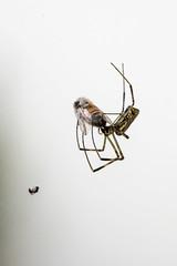 259/365 (Daegeon Shin) Tags: nikon d750 sigma sigma150mmf28hsm spider araña 무당거미 dinner comida 만찬 365 니콘 시그마 거미 nephilaclavata 동물 animal