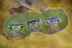 Friends forever (Alberto Ghizzi Panizza) Tags: damselflies odonata three leaf