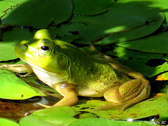 Blending In.(Explored) (~~BC's~~Photographs~~) Tags: bcsphotographs canonsx50 frogs sloanspond mammothcavenationalpark hiking summer kentuckyphotos outdoors closeups ourworldinphotosgroup earthwindandfiregroup explorekentucky explored9202017183