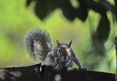 Something Squirrelly (ACEZandEIGHTZ) Tags: squirrel nikon d3200 bokeh gray closeup macro carolinensis naturethroughthelens saariysqualitypictures