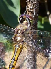 Australian emperor dragonfly head detail (glcoote) Tags: south australia sa southaustralia southaustralian gregcoote dragonfly mygarden