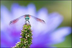 Dragonfly @ KAG (Nikographer [Jon]) Tags: kag kenilworthaquaticgardens dc 20170827d500088080 d500 waterlily flower bokeh dof