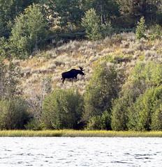 Moose climbing out of Lake Jessie, Wyoming (robmcrorie) Tags: moose lake jessie wyoming grand teton national park nature wildlife nikon d7500 200500 ed vr lens