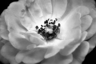Old Fashioned Hybrid Rose
