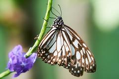 DSC04009 (denn22) Tags: butterfly schmetterling papillon september 2017 denn22 ilce7rm2 70200mmf28gmoss a7rm2