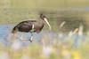 Zwarte Ooievaar - Black Stork (aaronmeijer2) Tags: wildlifephotography wildlife animal canon eos 1200d bird stork noordhollandsduinreservaat duinen netherlands animals