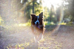 Dog Sunshine (n.karpiewska) Tags: sunshine dog sun sunset forest las pies border collie bordercollie bokeh poland europe europa polska dolnośląskie dolnyśląsk dolny slask sleza sobótka sulistrowiczki pentax kx old lens helios m42 russian tree trees trip travel animal pet flare sunflare gaze