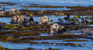 A raft of female Sea Otters and Pup (Enhydra lutris) - Tofino, BC