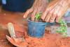 Trabalho Manual (ruimc77) Tags: nikon d810 tamron sp 70200mm f28 di vc usd hand work handwork trabalho manual trabajo art planta plantando plantar seed seeding terra tiera earth sand rural arte barbalha cariri ceara ceará ce brasil brazil tamronsp70200mmf28divcusd nikond810 bresil brèsil 巴西 ブラジル البرازيل ברזיל brazilië brasilien бразилия brasile 브라질