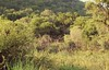 The bush in Pilanesberg (Knud Hald) Tags: 2017 africa entabeni fuji fujixt10withfujinonxf1855mmf284rlmois fujinonxf1855mmf284rlmois honeyuiderangerscamp knudhald limpopo outdoor pilanesberg pilanesbergsouthafrica2017 safari southafrica wildlife ngc albatrostravel beautiful nationalgeographicsociety purelynature naturelover naturemasterclass bush green