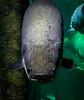 ARAPAIMA (pinsanjo) Tags: arapaima fish zaragoza aquarium
