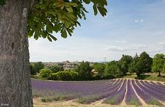 Champs de lavandes à Valensole (Missfujii) Tags: lavande champs paysage nature provence valensole fleur lavandes