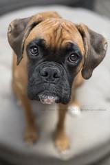 Fai✝h (dog ma) Tags: faith female boxer dog ma mydog puppy pup jodytrappephotography nikon d750 nikkor 50mm pet photography petportrait shesstandingontheottoman indoors