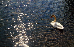 Follow the sunlit  path (acerman17) Tags: swan lake nature wildlife sunburst pathway bird animal