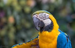 Ara gialloblu // Ara ararauna (Christian Papagni | Photography) Tags: pappagallo le cornelle parco faunistico portrait canon eos 7d mark ii ef100400mm f4556l is usm parrot ara gialloblu ararauna