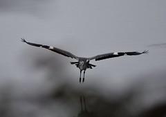 Grey Heron. (jimbrownrosyth) Tags: greyheron
