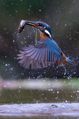 Kingfisher (Mr F1) Tags: alcedoathis kf kingfisher johnfanning wild nature outdoors electric blue colour color wings detail dull wet water green algae bif birdsinflight hunting eating flying fish prey lunch