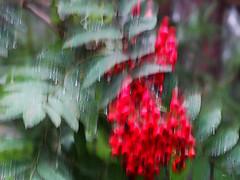 Rönnbär i regn (evisdotter) Tags: rönnbär regn rowan rain icm intentionalcameramovement gimp digitaloilpainting cartoon myart