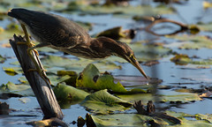 Héron vert // Green Heron (Alexandre Légaré) Tags: héronvert greenheron butoridesvirescens nikon d3200 bird oiseau animal wildlife stfrancois realdcarbonneau marais marsh swamp