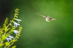 Brush Off (dngovoni) Tags: flower meadowlark action background bird hummingbird rubythroated summer sunrise wildlife vienna virginia unitedstates us