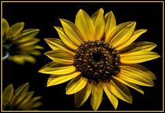 _A996032 (mbisgrove) Tags: a99m2 a99ii macro flower sunflower sony