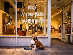 Percy's Retort (mootown) Tags: chicago illinois johnfluevog lordpercyhamishbaltimore northamerica usa unitedstates unitedstatesofamerica wickerpark bulldog dog oldeenglishbulldogge