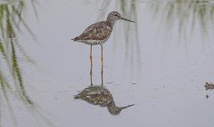 _U7A7541 (rpealit) Tags: scenery wildlife nature edwin b forsythe national refuge brigantine lesser yellowlegs bird