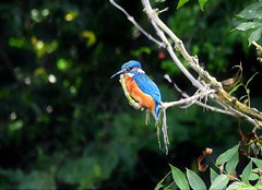 Patience. (pstone646) Tags: bird nature wildlife kingfisher perched fauna tree kent animal feathers colour