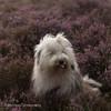 pfff.... (dewollewei) Tags: oldenglishsheepdog amy wickedwisdoms oldenglishsheepdogs old english sheepdog sheepdogs pfff funny cute bobtail dewollewei