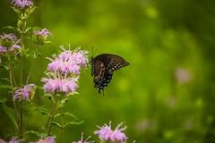 _U7A8466 (rpealit) Tags: scenery wildlife nature white lake preserve spicebush swallowtail nectaring monarda wild bergamot butterfly