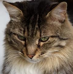 le regard (chriskatsie) Tags: chat cat animal poil fur yeux eyes look regard pose