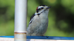 Watching & Waiting (blazer8696) Tags: 2017 brookfield ct connecticut ecw obtusehill t2017 table usa unitedstates img7098 picidae piciformes picoides woodpecker